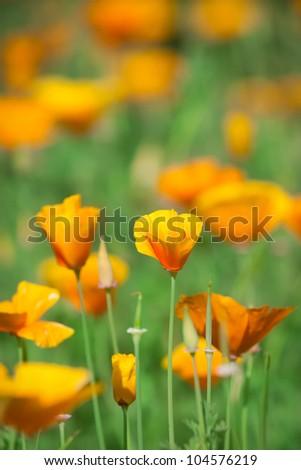 Flowers eshsholtsiya.