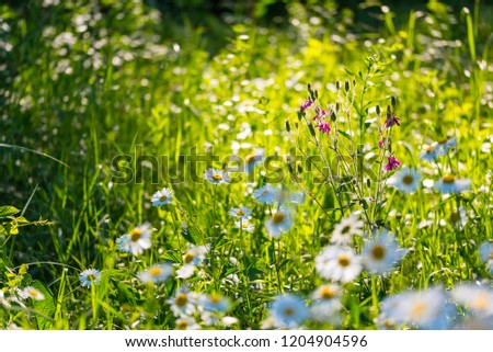 Flowers field of camomiles in garden in sunny day, wallpaper background. White chamomile field. #1204904596