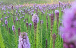 Flowers fiels of blazing stars. Liatris are blooming.