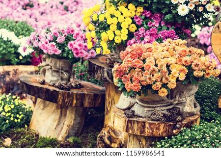 Flowers, flowers chrysanthemum, Chrysanthemum wallpaper, chrysanthemums in autumn.   Beautiful chrysanthemum as background picture.