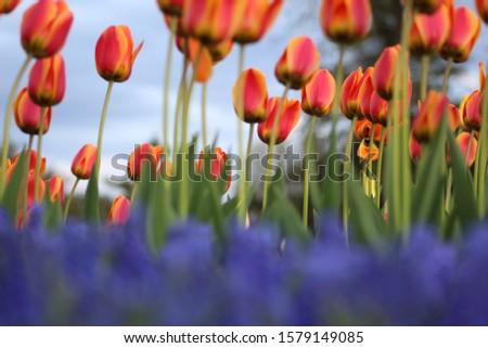 flowers from albany ny tulip fest Stock fotó ©