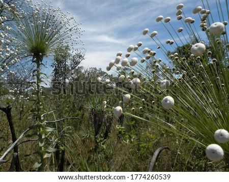 Flowers from the Brazilian Cerrado, Chapada dos Veadeiros, Brazil Foto stock ©