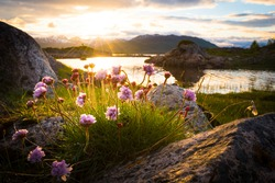 Flowers growing out of rock at an idyllic lake in front of a beautiful sunset in northern norway