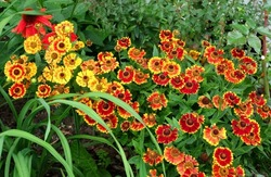 Flowers Helenium Autumnale, varieties - Fuego