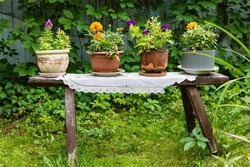 flowers in a cashto standing on a wooden bench as a decorative element of the garden