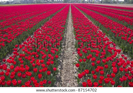 Flowers in a flower field in Holland