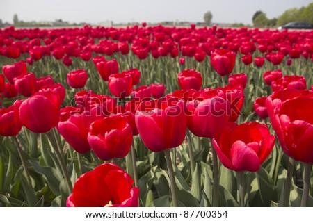 Flowers in a flower field in Holland