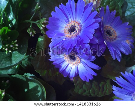 Flowers in a public garden. The flowers have blue and long petals. They are accompanied by green leaves and other flowers. In the image some of the colors are artificial. Nature background. Flower pic