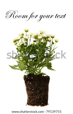 Flowers in dirt ready to be planted in a garden, isolated on white with room for your text