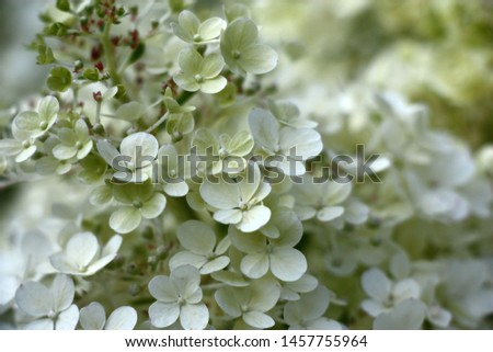 Flowers in inflorescences of a dwarfish hydrangea paniculata of a grade of Bobo.Beginning of blossoming. Foto stock ©