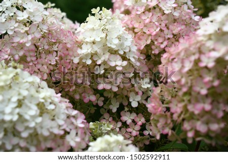 Flowers in inflorescences of a hydrangea paniculata of a grade of Bobo.Middle of blossoming. Foto stock ©