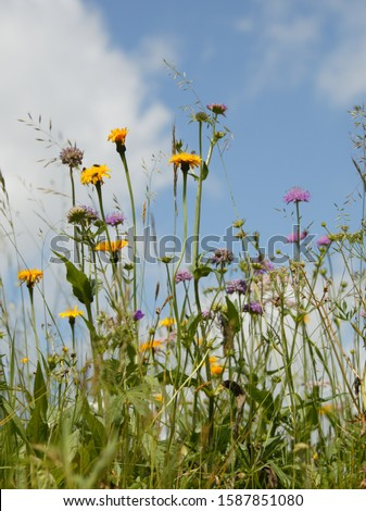 Flowers in meadow, The Alps, Graubünden, Switzerland