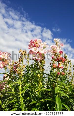 Flowers in the field (Penstemon 'Barbara Barker')