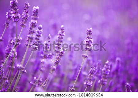 Flowers in the lavender fields in the Provence mountains. Foto stock ©