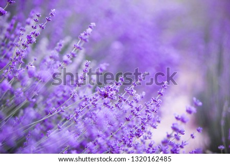 Flowers in the lavender fields in the Provence mountains. Evening light over purple flowers of lavender. Violet bushes at the center of picture. Lavender bushes closeup on evening light.
