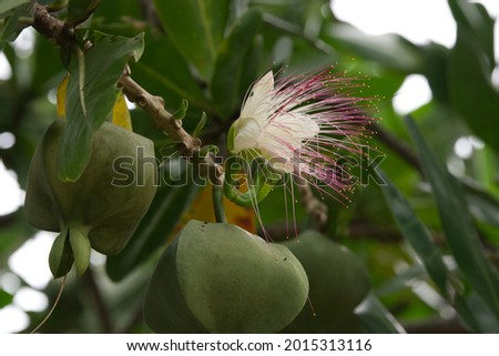 Flowers in white and pink of Barringtonia asiatica  or Fish Poison Tree , Putat or Sea Poison Tree in full bloom on its tree Сток-фото ©