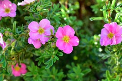 Flowers macro photography Lapchatka (lat. Potentilla) pink on a Bush