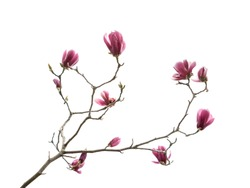 Flowers magnolia branch isolated on white background