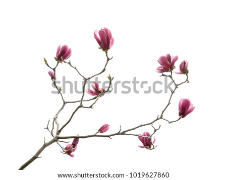 Flowers magnolia branch isolated on white background #1019627860