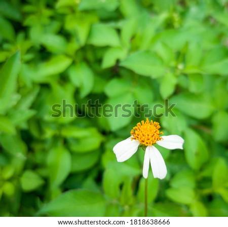 Flowers mosquito repellent or Tanacetum cinerariaefolium (Trev) Sch. Bip flower in garden. Stock foto ©