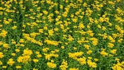 Flowers motley grass in field. Elecampane, nardus golden flower (Нnula salicina). Antiseptic, spice, flavoring, coloring. Drug plant in treatment of bronchitis, migraine, heart pain