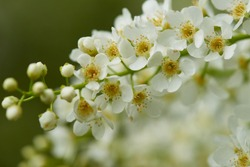 Flowers of a bird cherry ordinary Prunus padus