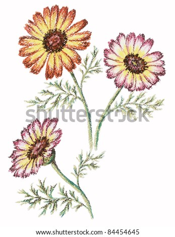 Flowers of a chrysanthemum. Picture, pastel, hand-draw on white paper