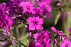 Flowers of a cultivated prairie phlox plant, Phlox pilosa