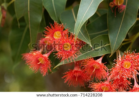 Flowers of a red flowering gum (Corymbia ficifolia) #714228208