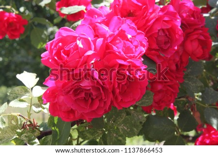 Flowers of a rose in a garden close up #1137866453
