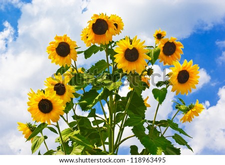 Flowers of a sunflower