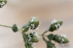 Flowers of a Syrian oregano plant, Origanum syriacum, a spice herb from the Near East.
