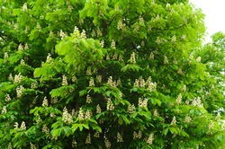 Flowers of a tree a chestnut. Spring blossoming chestnut tree flowers. Aesculus hippocastanum blossom of horse-chestnut tree.