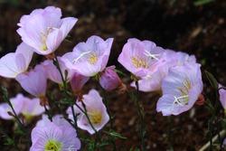 Flowers of a White evening-primrose plant in a garden. Oenothera speciosa