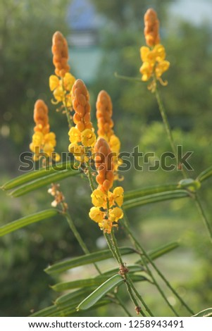 Flowers of Acapulo are on bushes and green background, another name is Candelabra bush, Candle bush, Ringworm bush. Herb in Thailand #1258943491