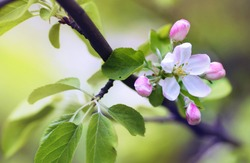 Flowers of an apple tree in spring on a nature outdoors macro. Colorful bright artistic image.