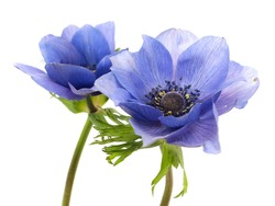 flowers of anemone on a white background
