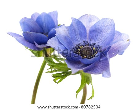 flowers of anemone on a white background - stock photo