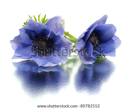 flowers of anemone on a white background with water drops