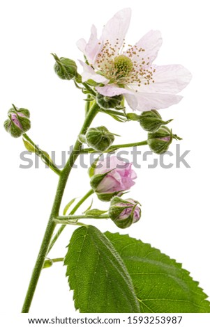 Flowers of blackberry, lat. Rubus fruticosus, isolated on white background