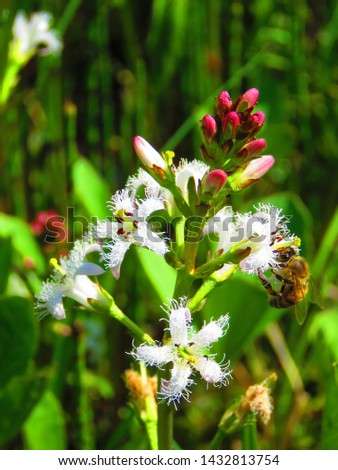 flowers of Bogbean, Menyanthes trifoliata, #1432813754