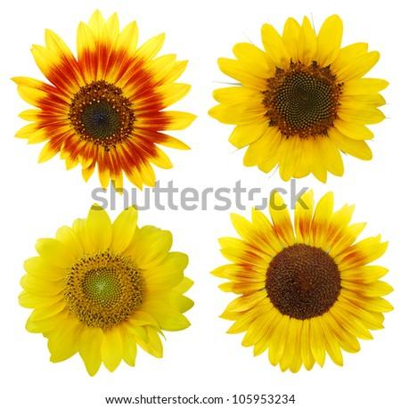 Flowers of bontany sunflowers Stock fotó ©