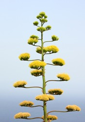 Flowers of century plant or maguey, Agave americana.