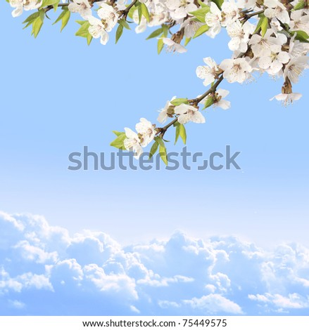 Flowers of cherry and blue sky