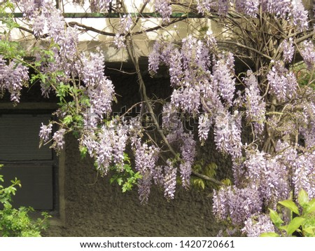 flowers of Chinese wisteria, Wisteria sinensis, #1420720661