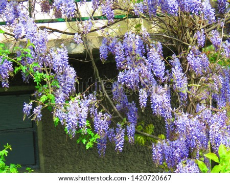 flowers of Chinese wisteria, Wisteria sinensis, #1420720667