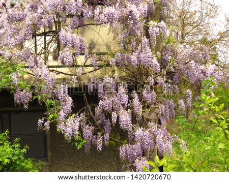 flowers of Chinese wisteria, Wisteria sinensis, #1420720670