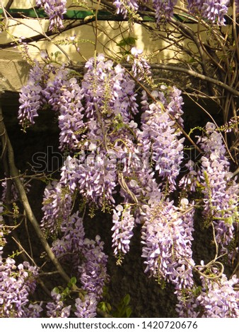 flowers of Chinese wisteria, Wisteria sinensis, #1420720676