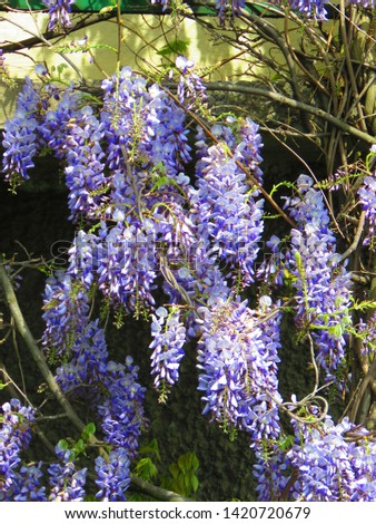 flowers of Chinese wisteria, Wisteria sinensis, #1420720679