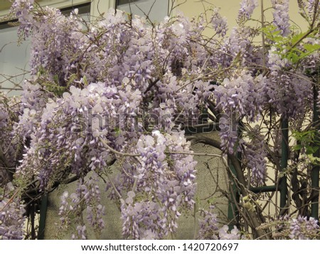 flowers of Chinese wisteria, Wisteria sinensis, #1420720697